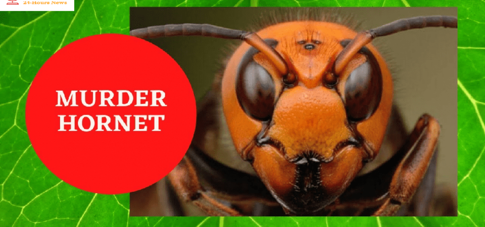What are 'Murder Hornets' and should I be worried? Asian giant hornets spotted in the US